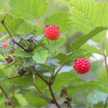 fresh berries on the vine